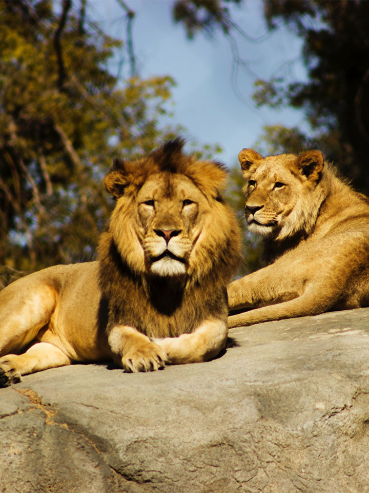 two lions sitting on a rock