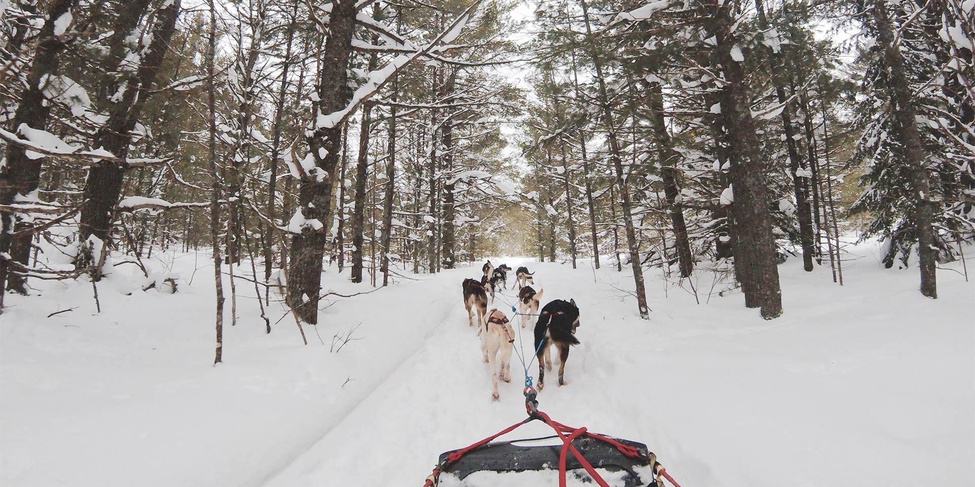 dogs pulling dog sled